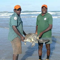 Dhimurru rangers engaging in turtle rescue activities.