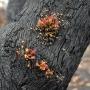 Regrowth on gum tree