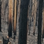 Burnt forest Credit Annick Thomassin